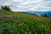 Olympic Mountains Framed Prints - Olympic Mountains Wildflowers Framed Print by Dan Mihai
