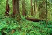 Forest Floor Photos - Olympic National Forest by Greg Vaughn - Printscapes