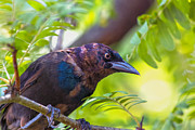 Perch Digital Art - Ominous Molting Grackle by Bill Tiepelman