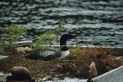 New Hampshire Lakes Framed Prints - On A Floating Nesting Island, A Loon Framed Print by Michael S. Quinton