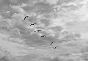 Flying White Pelicans Framed Prints - On a Mission - Black and White Framed Print by Suzanne Gaff