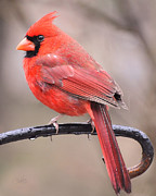 Cardinals. Wildlife. Nature. Photography Posters - On A Rainy Day Poster by Kimberly Chason