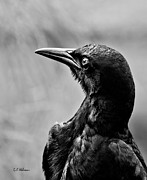 Christopher Holmes Metal Prints - On Alert - BW Metal Print by Christopher Holmes