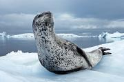 Icebergs Photos - On Alert, An Adult Leopard Seal Scans by Paul Nicklen