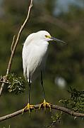Egretta Thula Photos - On Balance by Chad Davis