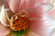 Pink Flower Prints Posters - On Being a Dahlia Poster by Kathy Yates