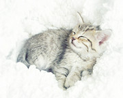 Sleeping Cats Posters - On Cloud Nine Poster by Amy Tyler