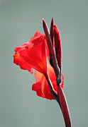 Canna Photo Posters - On Fire Poster by Suzanne Gaff