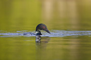 Loon Metal Prints - On Glassy Waters Metal Print by Tim Grams