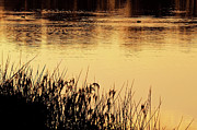 Australia Digital Art - On Golden Pond by Heather Thorning