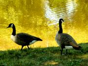 Canadian Geese Digital Art Posters - On Golden Pond Poster by Mindy Newman