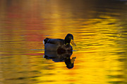Mallard Prints - On Golden Waters Print by Mike  Dawson