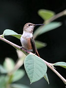 Rufous Hummingbird Posters - On Guard Poster by Angie Vogel