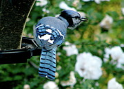 Bluejay Metal Prints - On Guard Metal Print by Kay Jantzi