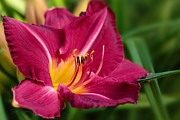 Daylily Framed Prints - On Show Framed Print by Reflective Moments  Photography and Digital Art Images