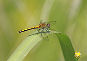 Damsel Fly Photos - On The Blade by Deborah Benoit