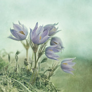 Pasque Flower Art - On The Crocus Bluff by Priska Wettstein