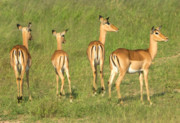 Impala Originals - On the lookout by Andrew Oliver