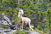 Bighorn Photos - On The Lookout by Teresa Zieba