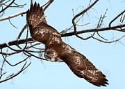 Red Tail Hawk Art - On The Move by Gary  Fairhead
