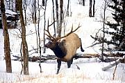 Bull Elk Art - On the Move by Mike  Dawson