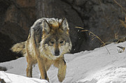 Wolves Photos - On the Prowl 2 by Ernie Echols