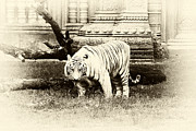 The Tiger Metal Prints - On the Prowl antique tone Metal Print by John Rizzuto