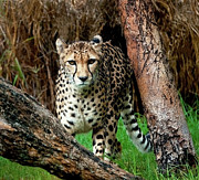 Perth Zoo Prints - On The Prowl Print by Heather Thorning