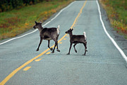 Alaska Wildlife Photos - On The Road Again by Alan Lenk