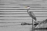 Great Blue Heron Black And White Posters - On the Rocks Poster by Michel Soucy
