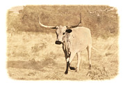 Texas Longhorn Cow Prints - On The Run Print by Betty LaRue