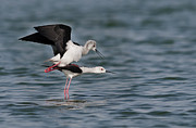 Black Winged Stilt Framed Prints - On the top Framed Print by Masood Hussain