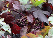 Purple Grapes Photos - On the Vine by Angie Vogel