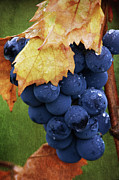 Grapes Art Digital Art Framed Prints - On The Vine Framed Print by Dale Kincaid