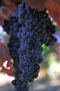 Grapevine Photos - On the Vine by Kathy Yates