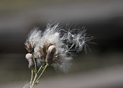 Seedhead Framed Prints - On the Wind Framed Print by Barbara  White