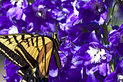 Delphinium Photos - On the Wings of Dreams  A Tiger Swallowtail by Scott Hansen