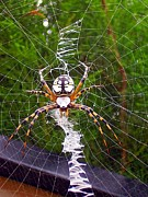 Polk County Florida Photos - On Track Orb Weaver by Christopher  Mercer