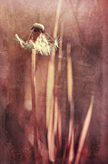 Dandelion Photos - Once Upon A Time by Priska Wettstein