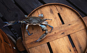 Photos Of Animals Prints - One Angry Crab Print by Skip Willits