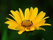 Close Up Floral Metal Prints - One Daisy Metal Print by Juergen Roth