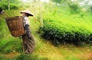 Black Pyrography - One Day In Tea Plantation  by Charuhas Images