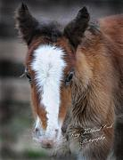 Terry Kirkland Cook - One Day Old Colt Fergus