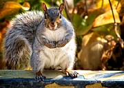 Animal Humor Prints - One Gray Squirrel Print by Bob Orsillo