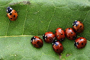 Ladybugs Photos - One Lady Bug Voted Off The Island by Bob Christopher