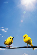 Canary Metal Prints - One Real Canary One Fake Bird On Wire Metal Print by PM Images