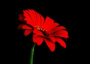 One Red Daisy Print by Marsha Heiken