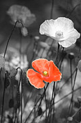 Painted Mixed Media Metal Prints - One Red Poppy Metal Print by Bonnie Bruno