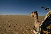 Camel Photos - One Tired Camel Rests As The Caravan by Carsten Peter