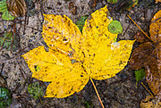 Yellow Leaves Prints - One yellow autumn leaf Print by Matthias Hauser